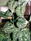 Mérgező növények a lakásban - Fotók a növényekről