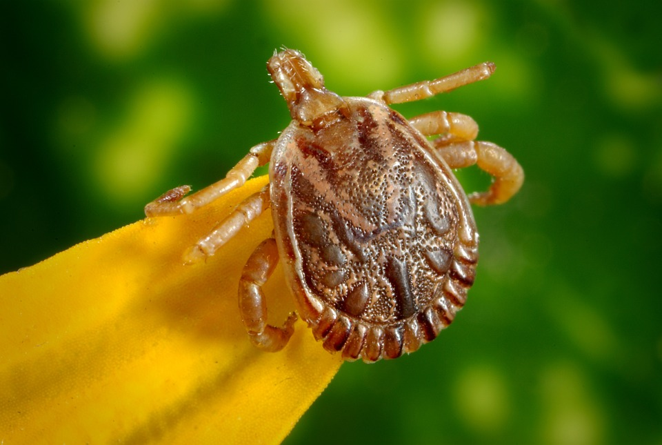Elszaporodtak és fertőzőbbek lettek a kullancsok! Milyen tüneteknél gyanakodj Lyme-kórra? Szakértő válaszol