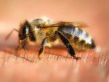 Csípések kezelése: Kullancs, darázscsípés, méhcsípés és szúnyogcsípés kezelése