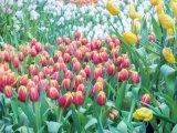 Magyarország legnagyobb virágszőnyegét terítik ki május 24-én! A látogatók virágokkal térhetnek haza