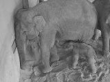 Fotók: kiselefánt született a budapesti állatkertben! - Mikor lesz látogatható a kicsi elefántbébi?