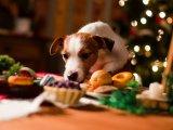 Ezért ne adj csokit a kutyádnak az ünnepek alatt sem! Könnyen megbetegedhet tőle - Mik a csokoládémérgezés tünetei?