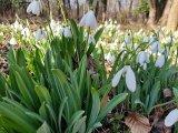 Hóvirág 2018: Már nyílik a hóvirág az Alcsúti Arborétumban! - Mikor érdemes odamenni, hogy elkerüld a tömeget?
