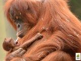 Szavazz! Mi legyen a kis orángután-bébi neve, aki a Fővárosi Állatkertben született? - 3 név közül választhatsz