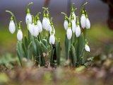 Alcsúti Hóvirágünnep 2021: Elmarad idén a tavasz egyik leglátványosabb programja az Alcsúti Arborétumban