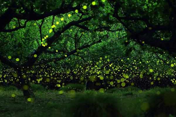 Szentjánosbogár-rajzás 2016: melyik arborétumba érdemes elmenni? Kettőt is mutatunk