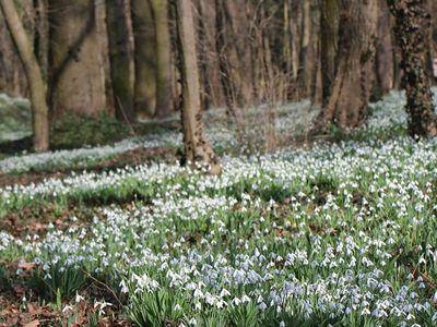 Hóvirágünnep 2017: itt van Magyarország legnagyobb összefüggő hóvirágmezője! - Kinyíltak már a hóvirágok az Alcsúti Arborétumban?
