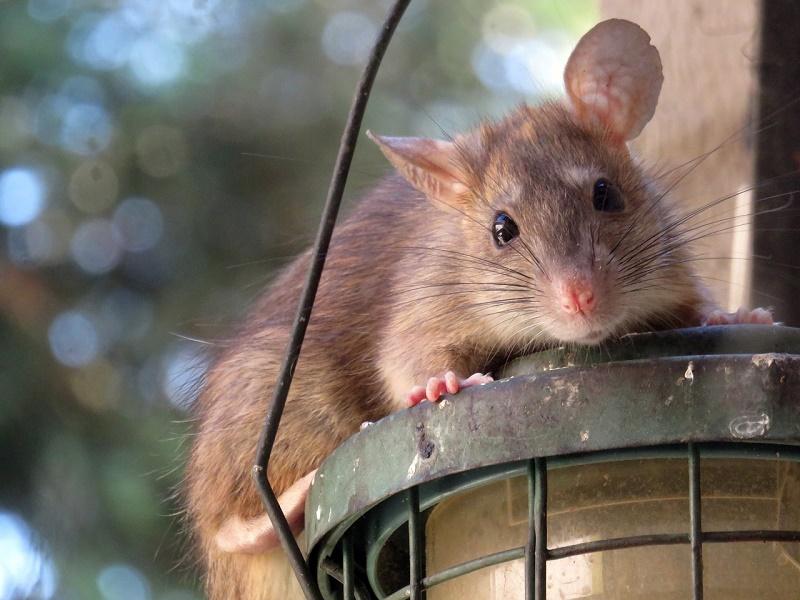 Patkányok lepték el egy magyar település játszóterét! - Miért szaporodhatnak el a patkányok? Mik a patkányharapás tünetei?