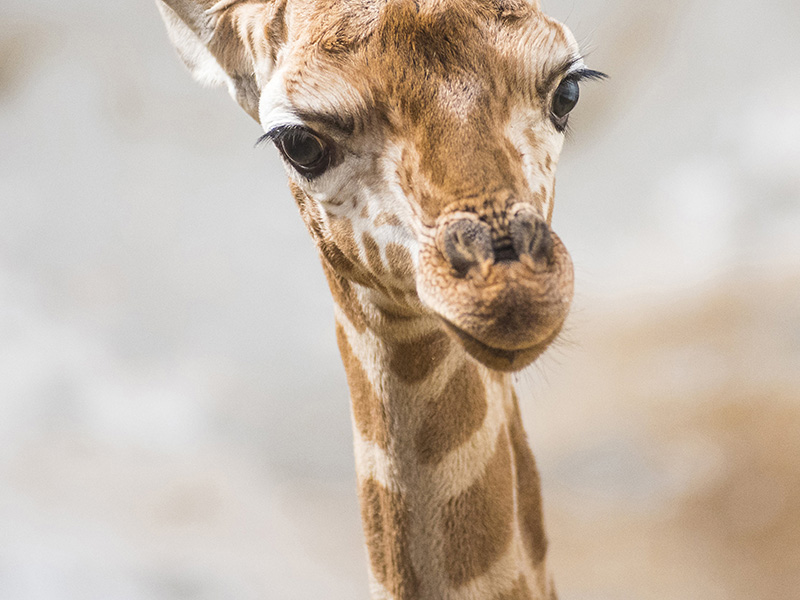 Kis zsiráf született a Nyíregyházi Állatparkban! - Nézd, milyen aranyos fotók készültek róla