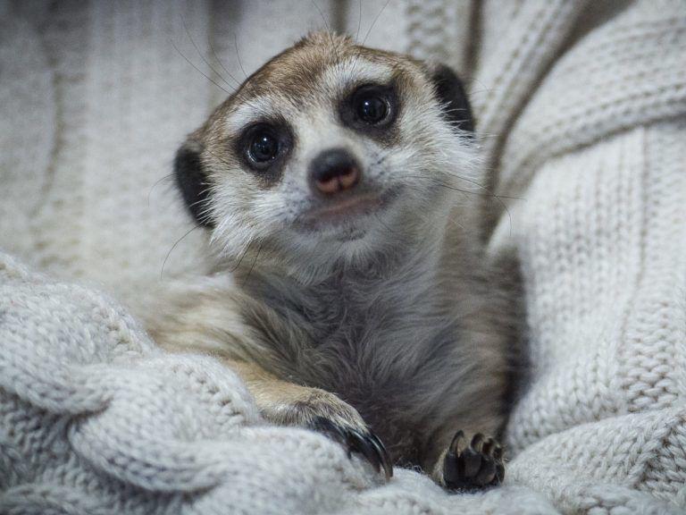 Elpusztult a Kecskeméti Vadaskert vemhes szurikátája, mert egy diák földhöz csapta - Hiába mondták neki, hogy ne nyúljon be hozzá